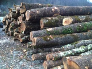 a wealth of naturally regenerated, mountain-grown timber